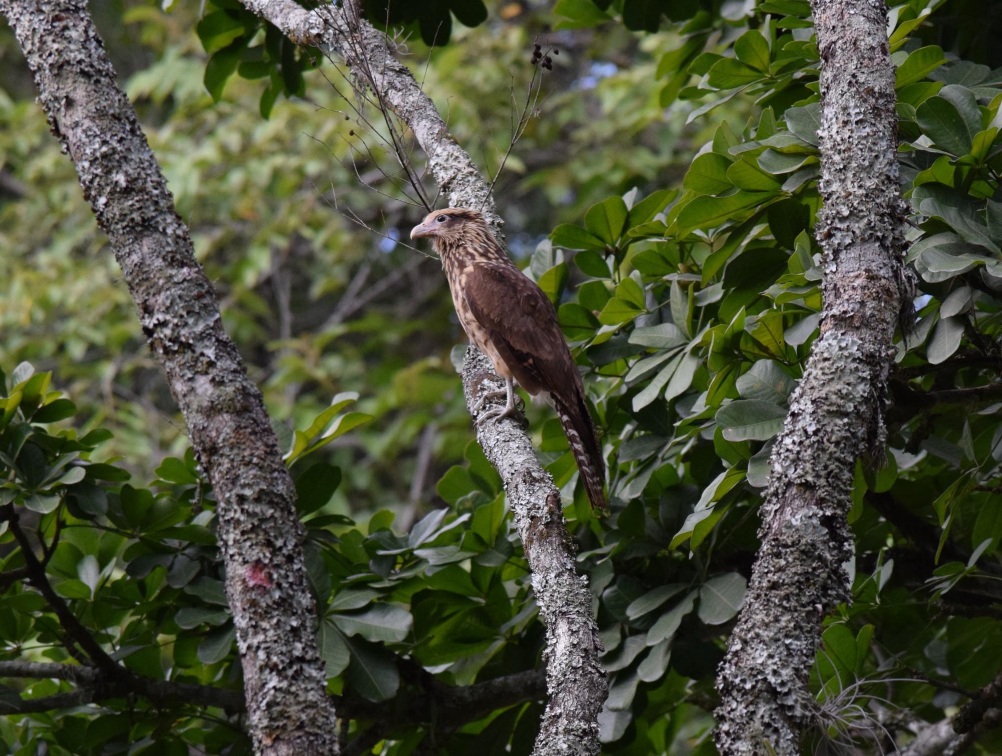 Falcon at Jardín Botánico, Tuluá, Valle del Cauca—Colombia
